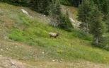 Grazing Bull Elk